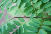 Detail of fresh gentle green leaf of locust tree with green background. — Stock Photo