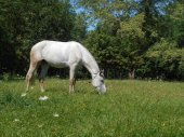 White horse in the park on the green grass — Stock fotografie