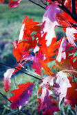 Branch with colorful autumn leaves — Stock Photo