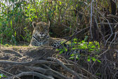 Front view of Jaguar standing in riverbank, Pantanal, Brazil — Stock Photo