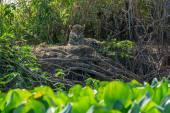 Front view of wild Jaguar standing in riverbank, Pantanal, Brazil — Stock Photo