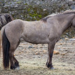 Side view of dark brown Icelandic horse — Stockfoto #53647837