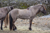 Side view of dark brown Icelandic horse — Stock Photo