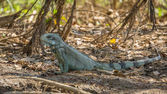 Iguana in riverbank of Brazilian Pantanal — Стоковое фото