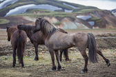 Rear view of Icelandic horses group in Landmannalugar unbelievable landscape — Zdjęcie stockowe