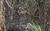 Wild Jaguar behind plants in riverbank, Pantanal, Brazil — Stockfoto