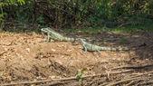 Iguanas couple in riverbank of Brazilian Pantanal — Zdjęcie stockowe