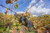 Neglected Vineyard over blue sky. Ripe grapes in fall. — Foto Stock