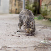 Stray cat just hunted a mouse — Zdjęcie stockowe