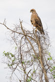 Eagle perched on top of tree — Stock Photo
