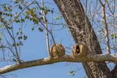Joao de Barro bird and nest, Rufous hornero — Stock Photo