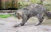 Kot gra nawiedzony myszy — Zdjęcie stockowe