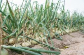 Onions plantation in a row — Stock Photo