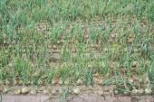 Onion plantation array — 图库照片