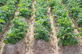 Side view of potato plantation rows and furrows — Stock Photo