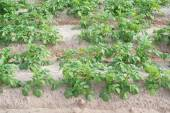 Potato plantation with green leaves — Stock Photo