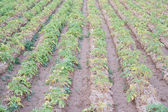 Potato plantation rows over furrows — Stock Photo