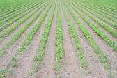 芹菜的种植园,早期阶段 — 图库照片