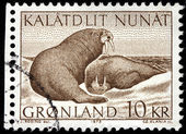 Walruses — Stock Photo