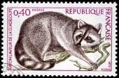 Guadeloupe Raccoon — Stock Photo