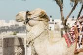 Camel against the old city of Jerusalem — Stock Photo