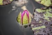 "Close to a water lily ""Nymphaea alba"" — Stock Photo"