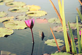 """Close to a water lily """"Nymphaea alba"""" — Stock Photo"""