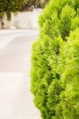 A well landscaped hedge of bushes boxwood — Stock Photo
