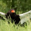 Bateleur Eagle — Stock Photo #52305311