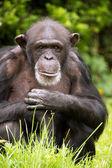 Chimpanzee — Stockfoto
