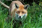 Kızıl tilki — Stok fotoğraf
