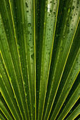 Wet Vivid Green Palm Leaf — Foto Stock