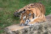 Tiger — Stock Photo