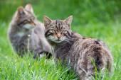 Scottish Wildcat — Stock Photo
