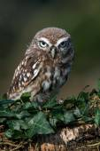 Little Owl — Stock Photo