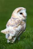Barn Owl — Stock Photo