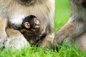 New born Baby Barbary Macaque — Stockfoto