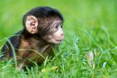 New born Baby Barbary Macaque — Stockfoto
