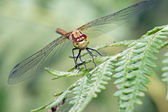 Common Darter Dragonfly — Stock Photo