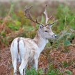 Fallow Deer — Stock Photo #58722981