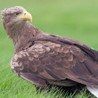 White Tailed Sea Eagle — Stock Photo #58723227