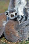 Baby Ring-Tailed Lemur — Stock Photo