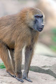 Guinea Baboon — Stock Photo