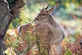 Fallow Deer — Stock Photo