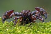 Emperor Scorpion — Stock Photo