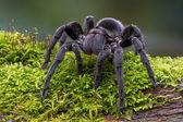 Brazilian Black Velvet Tarantula — Stock Photo