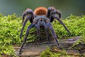 Greenbottle Blue Tarantula — Stock Photo