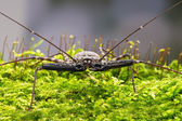 Whip Scorpion — Stock Photo