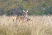Red Deer Hind & Fawn — Stock Photo
