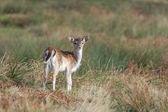 Fallow Deer Fawn — Stock Photo